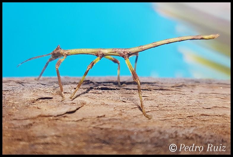 Ninfa hembra L3 de Haplopus micropterus, 4,2 cm de longitud