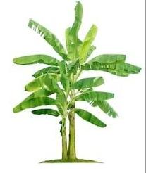 केले का पौधा