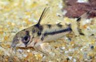 Jenis Ikan Corydoras boisemani