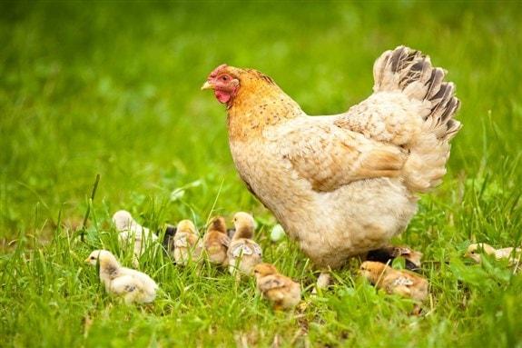 Gurk tavuk civcivlerden ne zaman ayrılır?