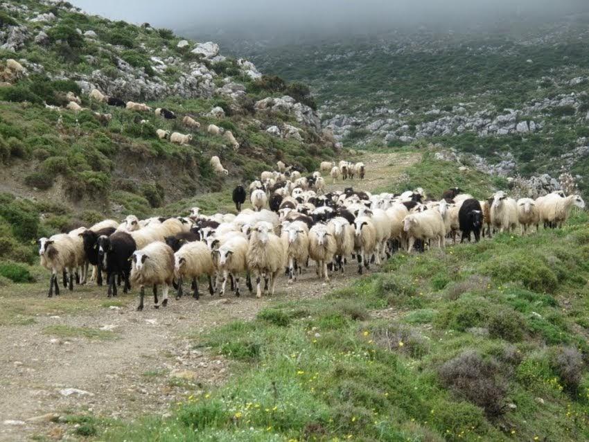 Αγέλη σκυλιών κατασπάραξε 70 πρόβατα στον Αμπελώνα