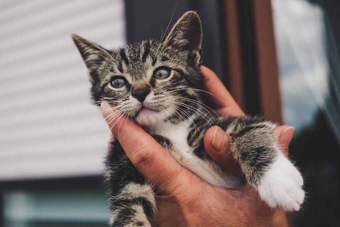Socialisation de votre chaton : Ce que vous devez savoir