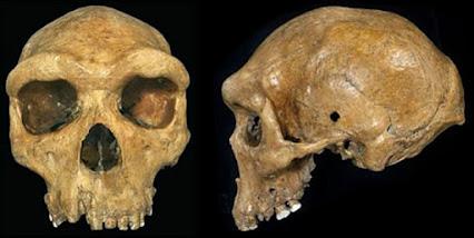 skull Homo rhodesiensis
