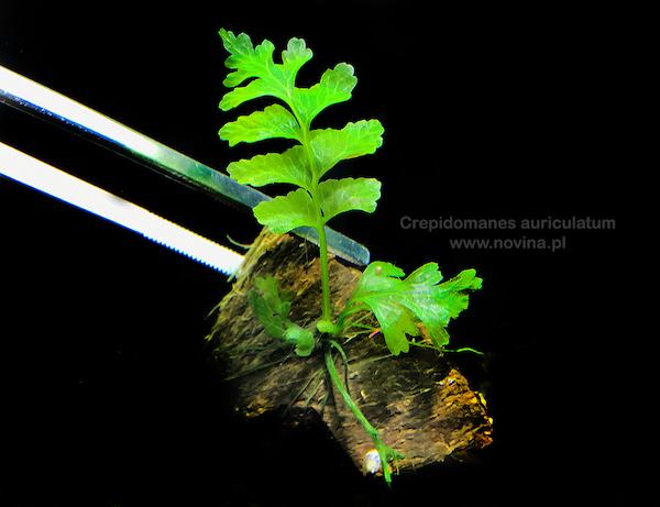 Vinh Aqua chia sẻ với các bạn về cây thủy sinh dương xỉ lá me - Crepidomanes Auriculatum
