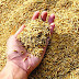 किसानों की जगह बिचैलियों से नेकाफ एजेंसी कर रही धान की खरीद