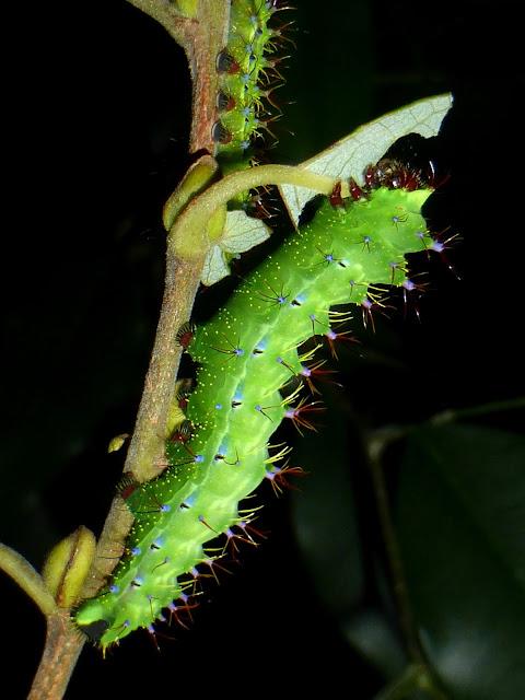 Copaxa rufinans caterpillar