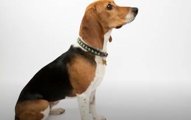 7 Hunderassen ähnlich wie Beagles Beste Beagle-Alternativen
