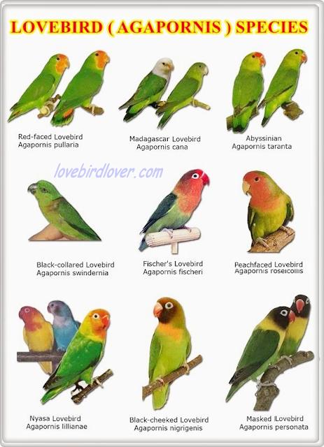 Berbagai Jenis Lovebird Kacamata dan Sifat Penurunannya