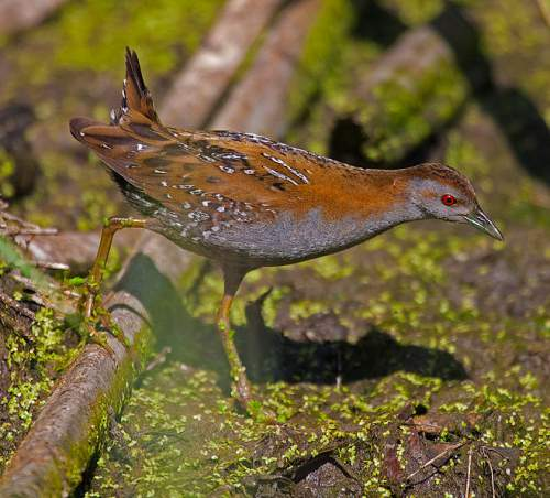Indian birds - Baillon's crake - Zapornia pusilla