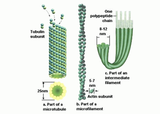 proses aktivitas mikrofilamen