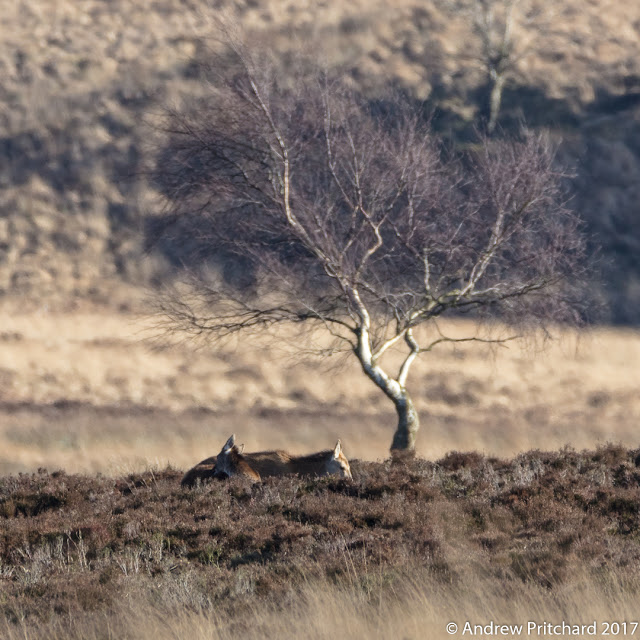 A hind and calf bask in the sunshine under a small tree.