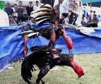 cara merawat ayam