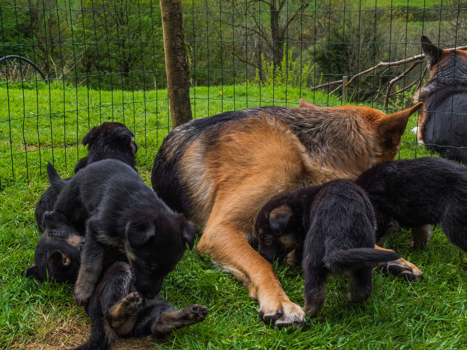 Month old German Shepherd puppies playing outside on the grass with mom.