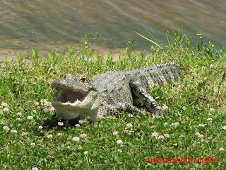 التمساح الأمريكي