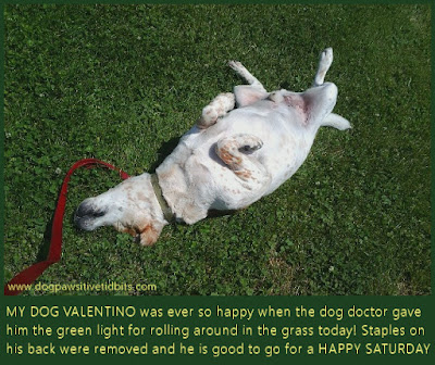 My dog Valentino in a happy Saturday back scratching roll in the grass.