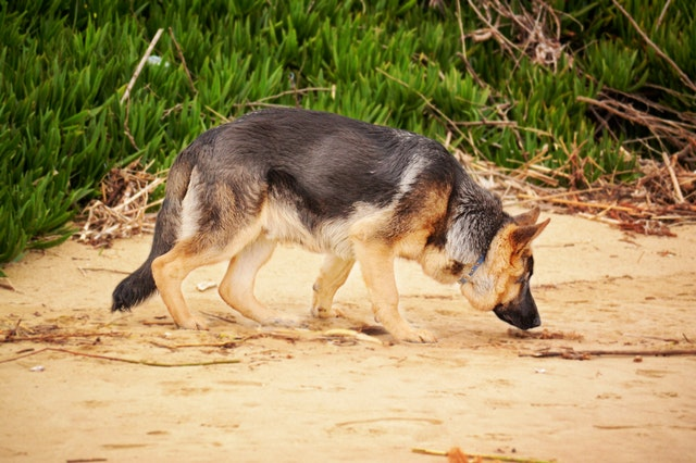 photo-of-a-german-shepherd-sniffing