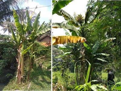 Uniknya tandan Pisang Tongka Langit yang menghadap ke atas. Foto : Balitbu, Balitbang Kementan. http://balitbu.litbang.pertanian.go.id/index.php/berita-mainmenu-26/1037-pisang-tongka-langit-di-galunggung
