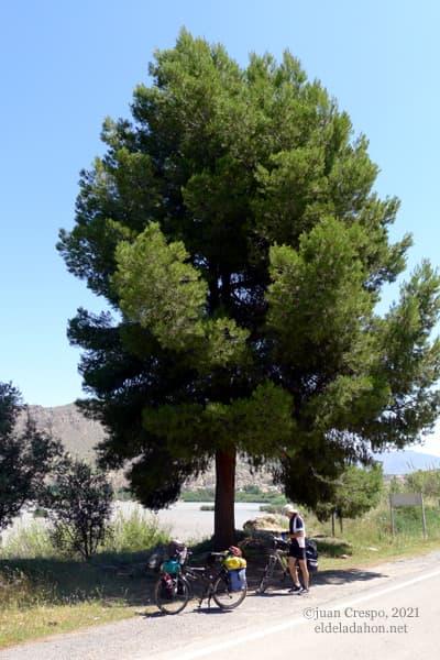 pino-solvente-valle-ricote