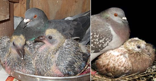 Filhotes de pombos