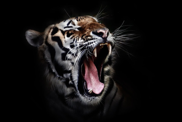 Tiger Roaring In The Darkness HD 1080p Wallpaper