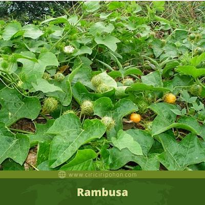 Rambusa