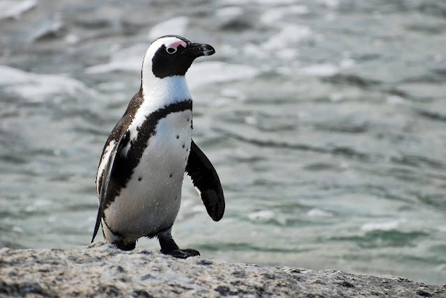 63 Ekor Penguin di Pantai Boulder Afrika Selatan Mati Tersengat Lebah.lelemuku.com.jpg