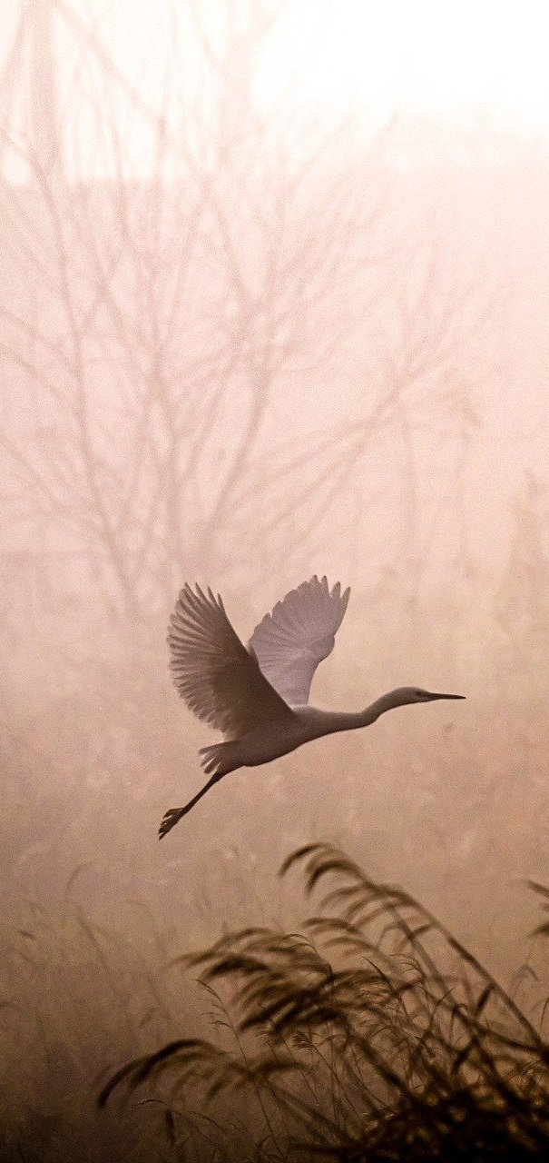 Amazing capture of an egret at dawn.