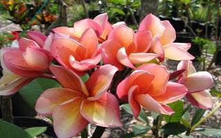 Gambar Bunga Kamboja yang Indah 7