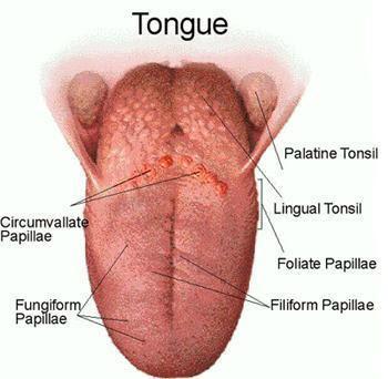 jenis jenis papila pada lidah