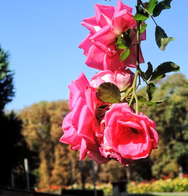 Když kvetou růže kvete i radost.