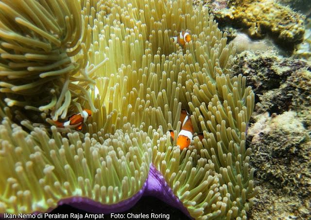 Ikan nemo badut di Terumbu Karang Raja Ampat