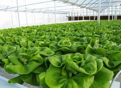 Rau sạch và kỹ thuật trồng rau an toàn đạt năng suất cao