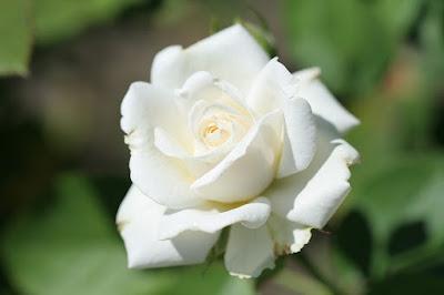 Manfaat Mawar Putih Untuk Kesehatan
