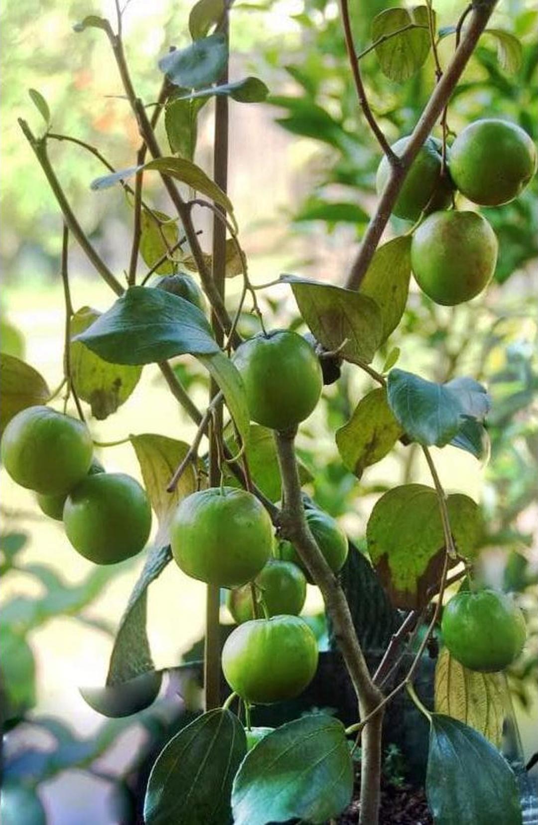 Kualitas Super! Unggul Bibit Tanaman Buah Apel Putsa India A Kota Bekasi #bibit buah langka