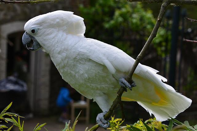 Kakatua putih merupakan spesies burung berukuran sedang Mengenal Burung Kakatua Putih