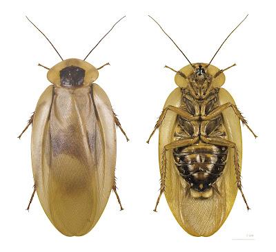 Zdjęcie spodu karalucha
