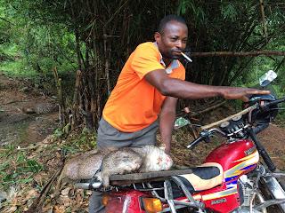 Freshly killed cane rat