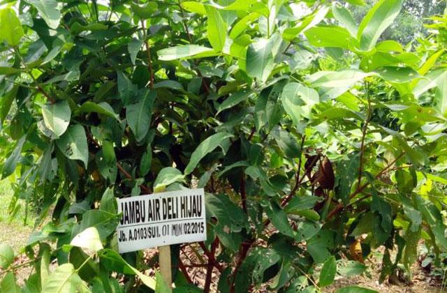 tanaman jambu air madu deli hijau