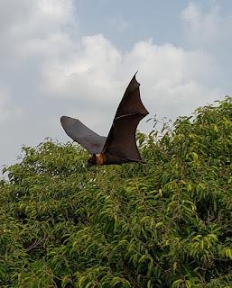 A photo of a fruit bat flying