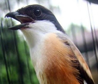 Cara Merawat Burung Pentet Biar Cepat Gacor.