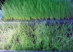 Top View of Jonathan Green Black Beauty and Dense Shade grass in a container