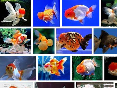 Jenis Ikan Koki Kontes