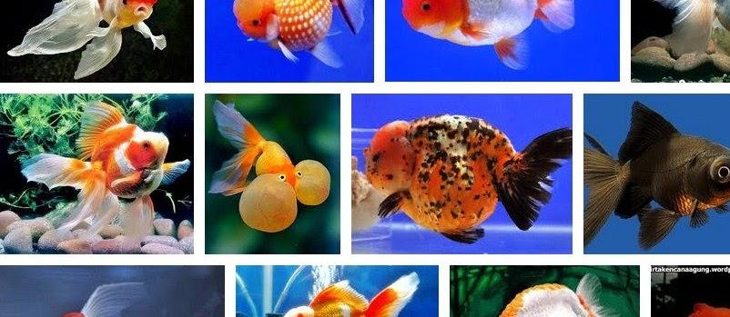 Jenis Ikan Koki Kontes? Lihat Daftarnya Berikut Ini