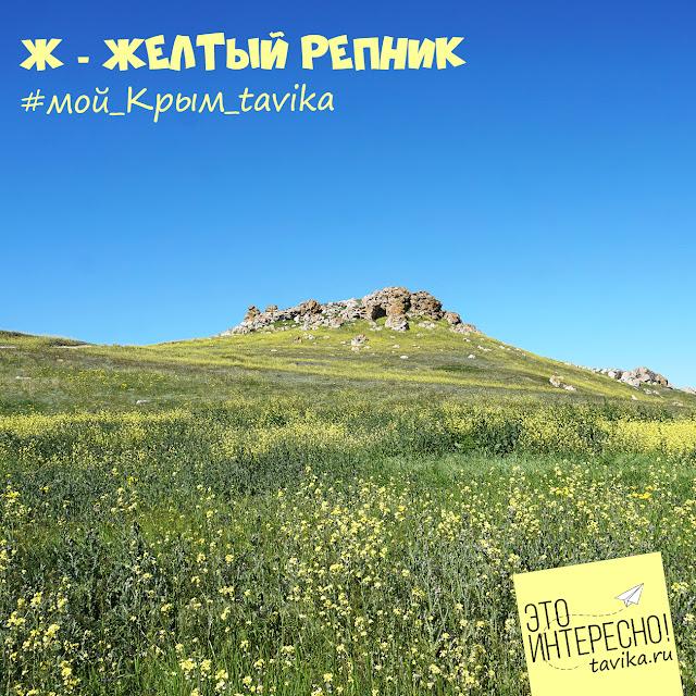 Желтые цветы репника в Караларской степи