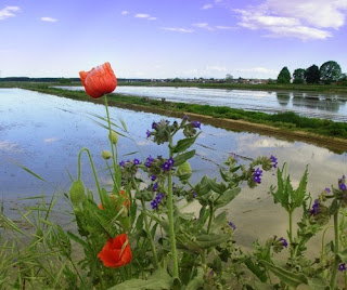 Submerged rice fields are a feature of the countryside around Vercelli in the Po Valley
