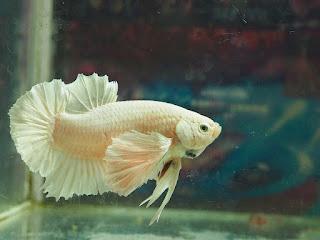 Cupang Mahal Giant Albino