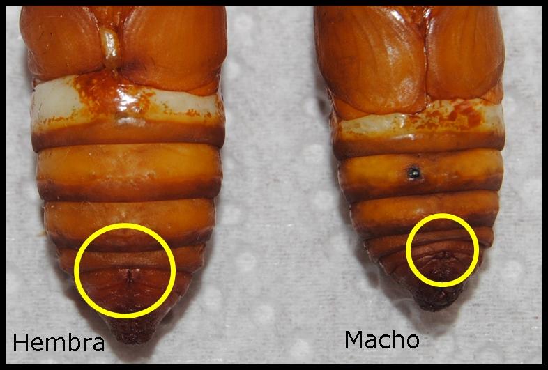 Diferencia de hembra y macho en crisálidas de Samia ricini Zebra