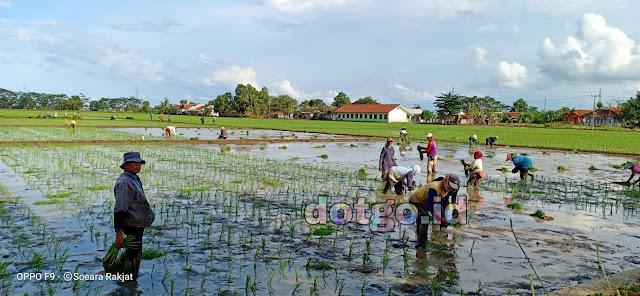 Musim Tanam di Wilayah Pantura Subang di Kecamatan Ciasem dan Blanakan