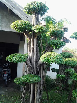 Jasa Tukang Taman Surabaya Jual Bonsai Dolar