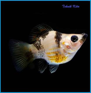 ikan molly betina